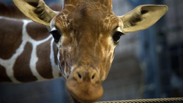 Marius i Københavns Zoo